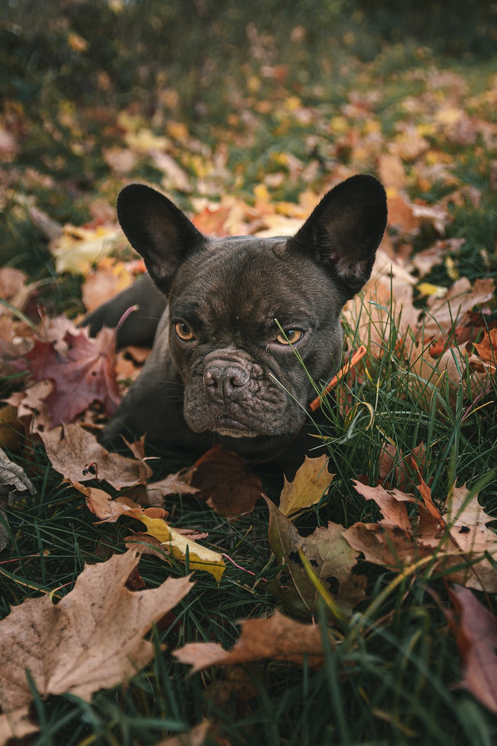 black french bulldog on brown dried leaves