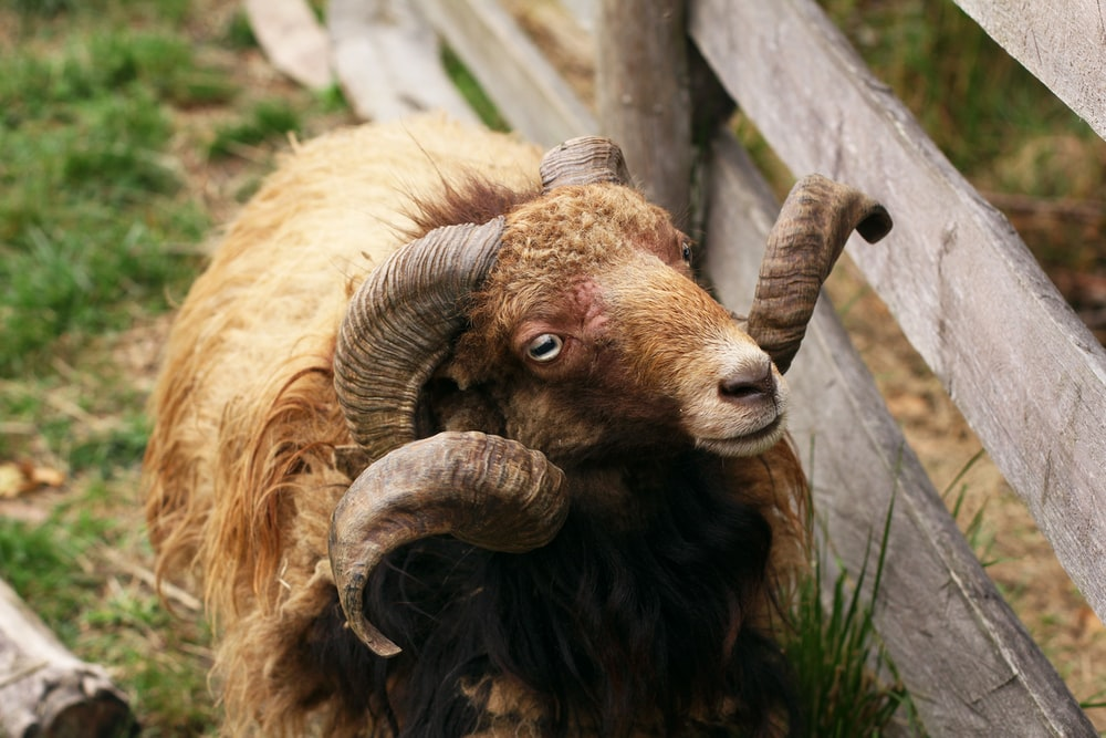 brown ram on green grass during daytime