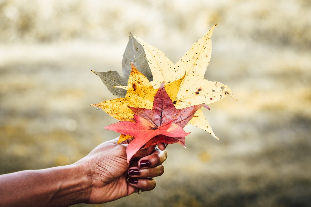 person holding yellow and red maple leaf
