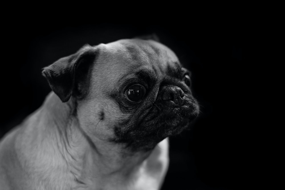 grayscale photo of pug looking up