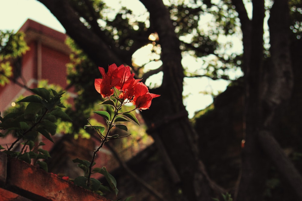 red rose in bloom during daytime