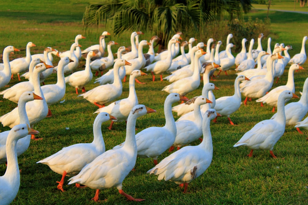flock of white geese on green grass during daytime