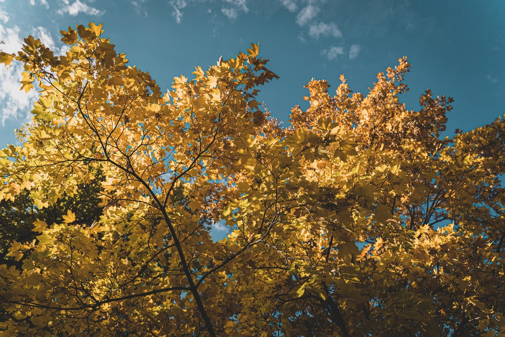 yellow leaves on tree under blue sky during daytime