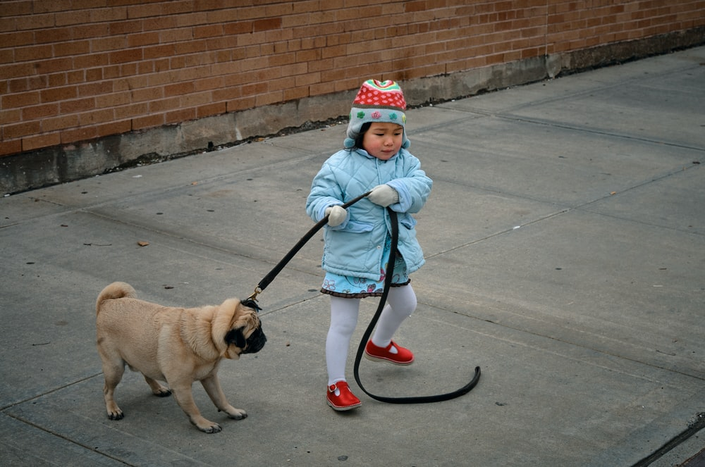 fawn pug wearing blue and red knit cap and red leash walking on sidewalk during daytime