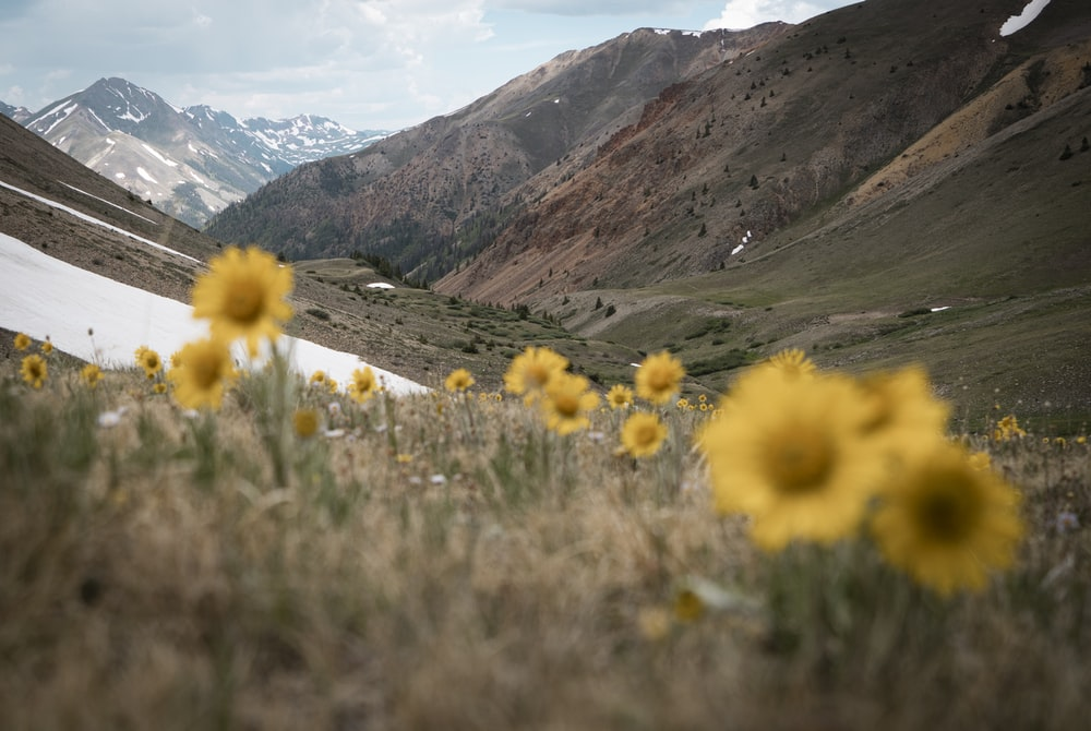 yellow flowers on green grass field near mountains during daytime