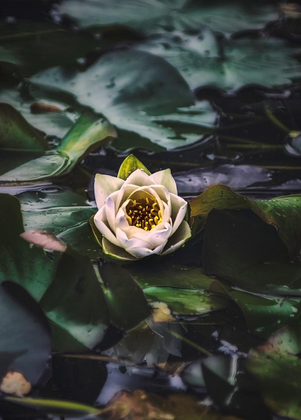 green lotus flower on water
