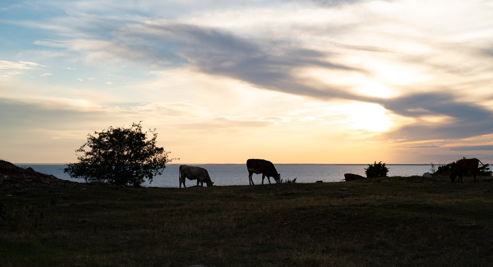 silhouette of horses on green grass field during sunset