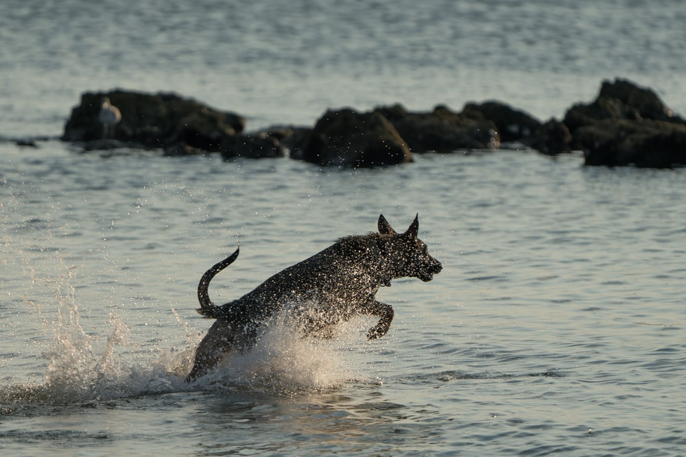 black and white dog running on water during daytime