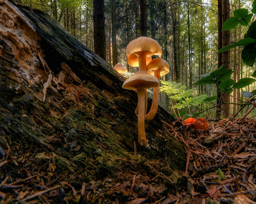 brown mushroom on brown tree trunk