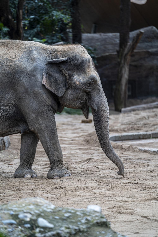 gray elephant walking on brown dirt during daytime