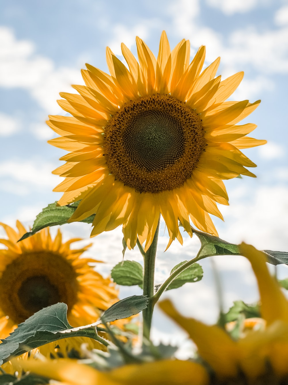 sunflower in close up photography during daytime