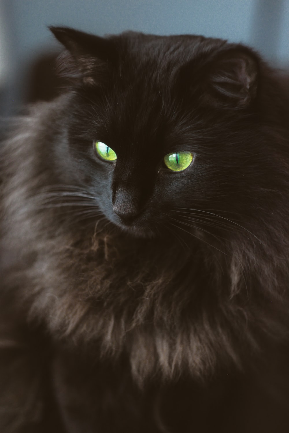 black long fur cat in close up photography