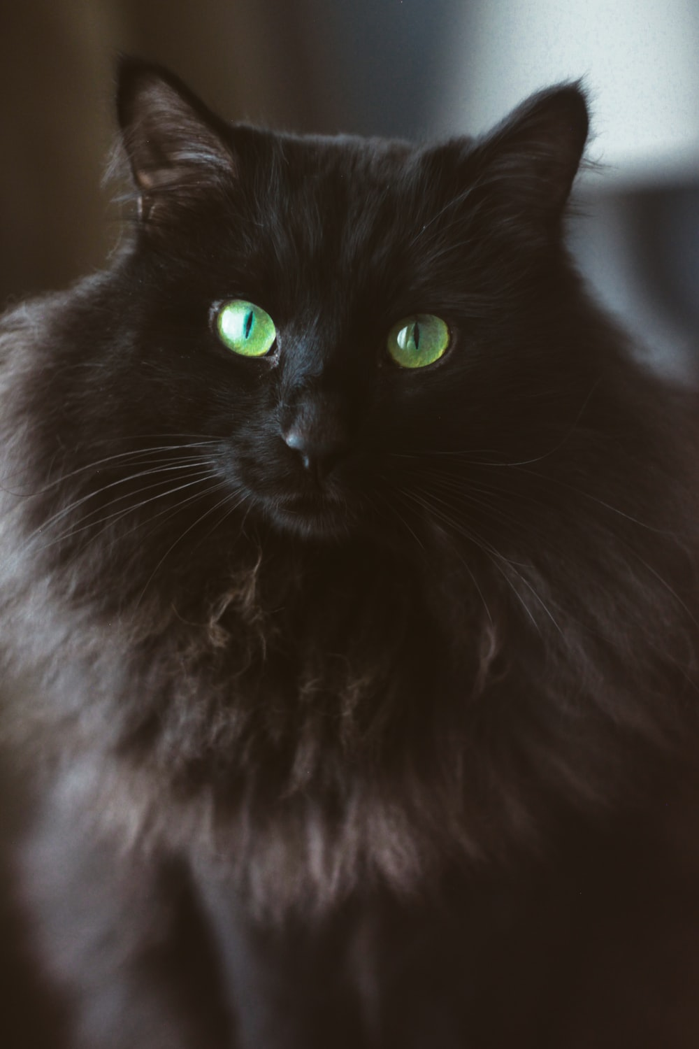 black and white long fur cat