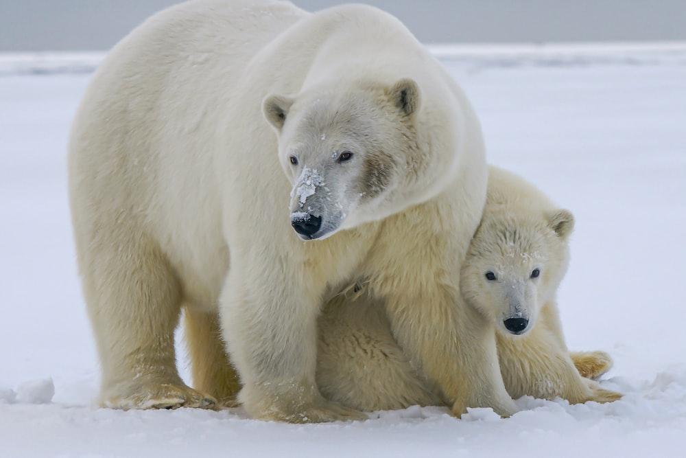 white polar bear on snow covered ground during daytime