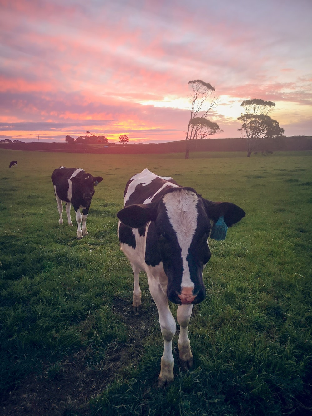 black and white cow on green grass field during sunset