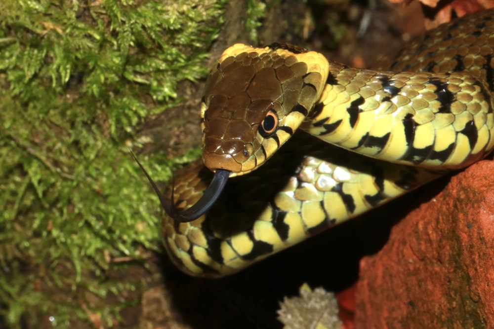 yellow and black snake on brown rock