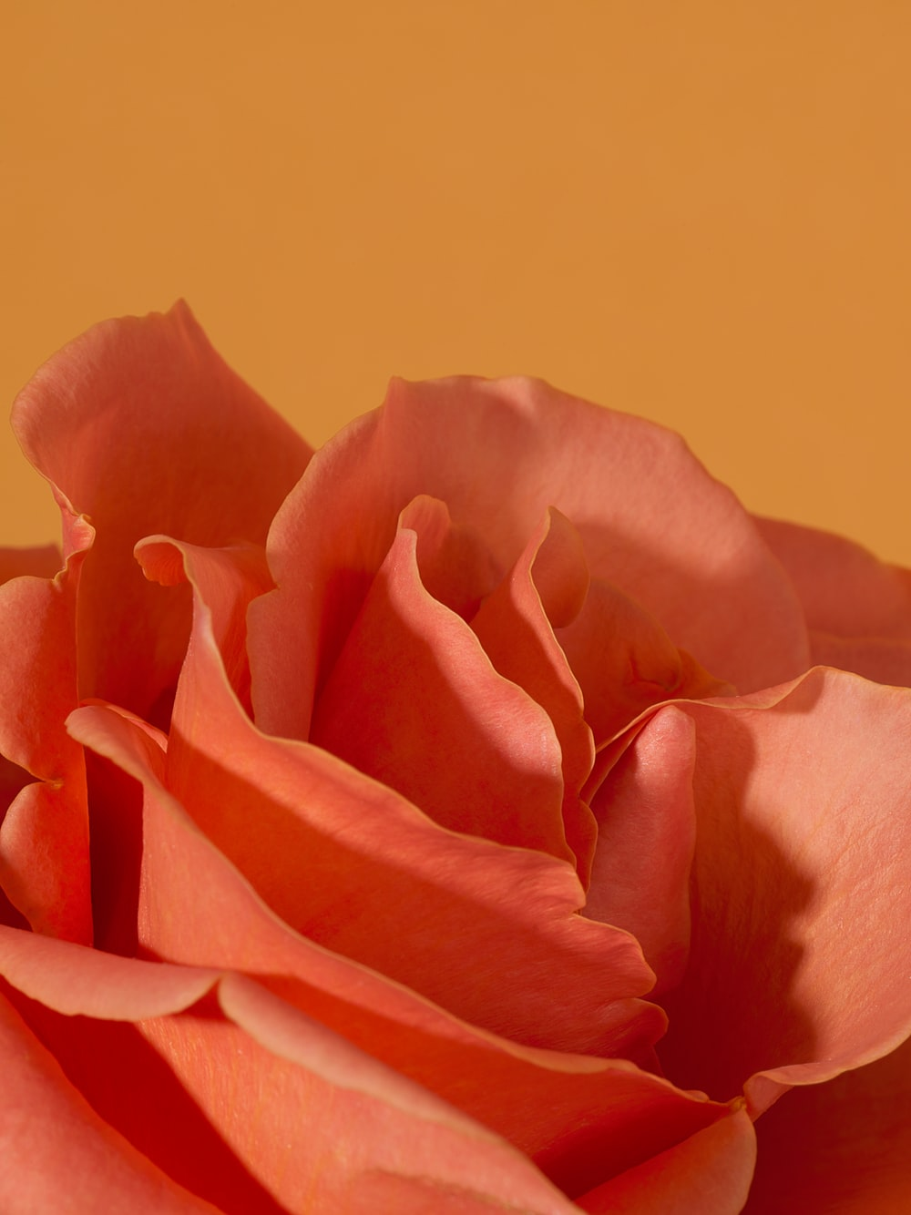 pink rose in close up photography
