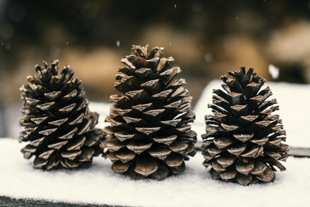 brown pine cones on snow covered ground