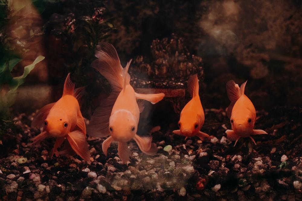 orange fishes in fish tank