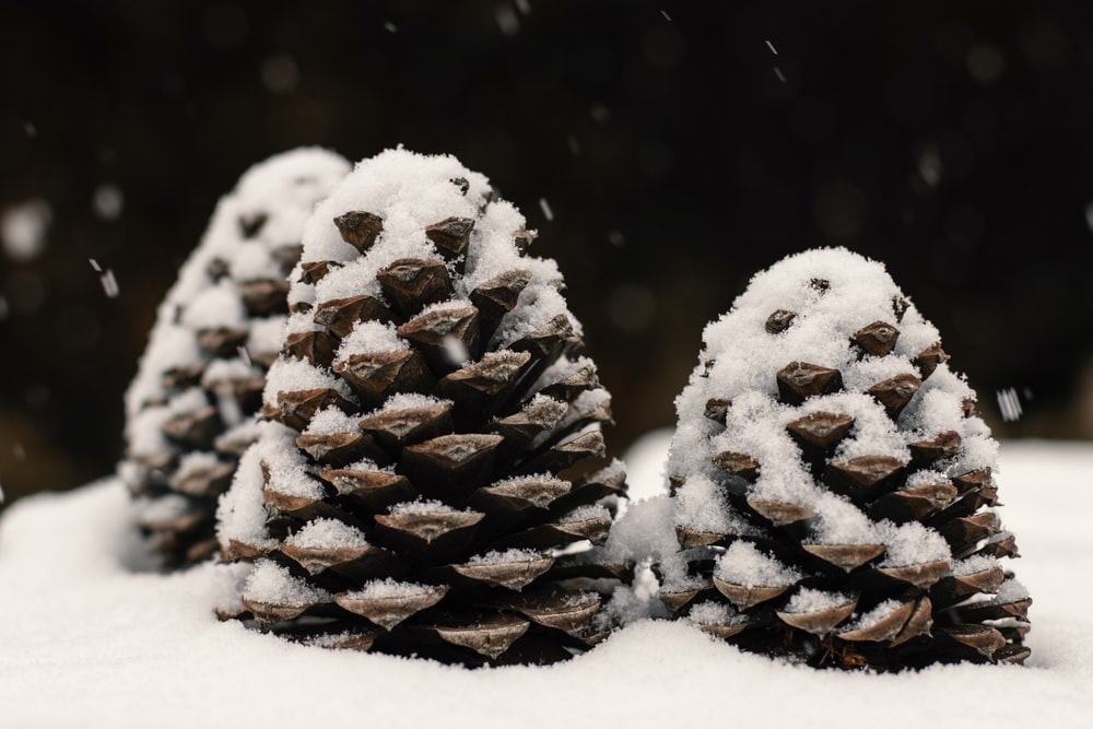gray pine cone covered with snow