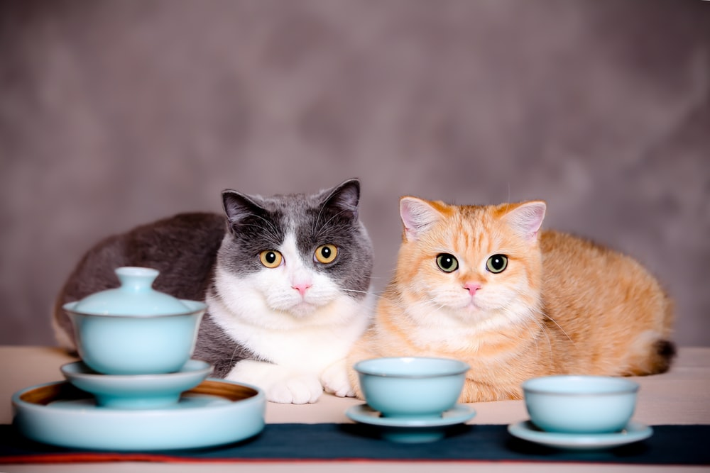 orange and white tabby cat on blue table