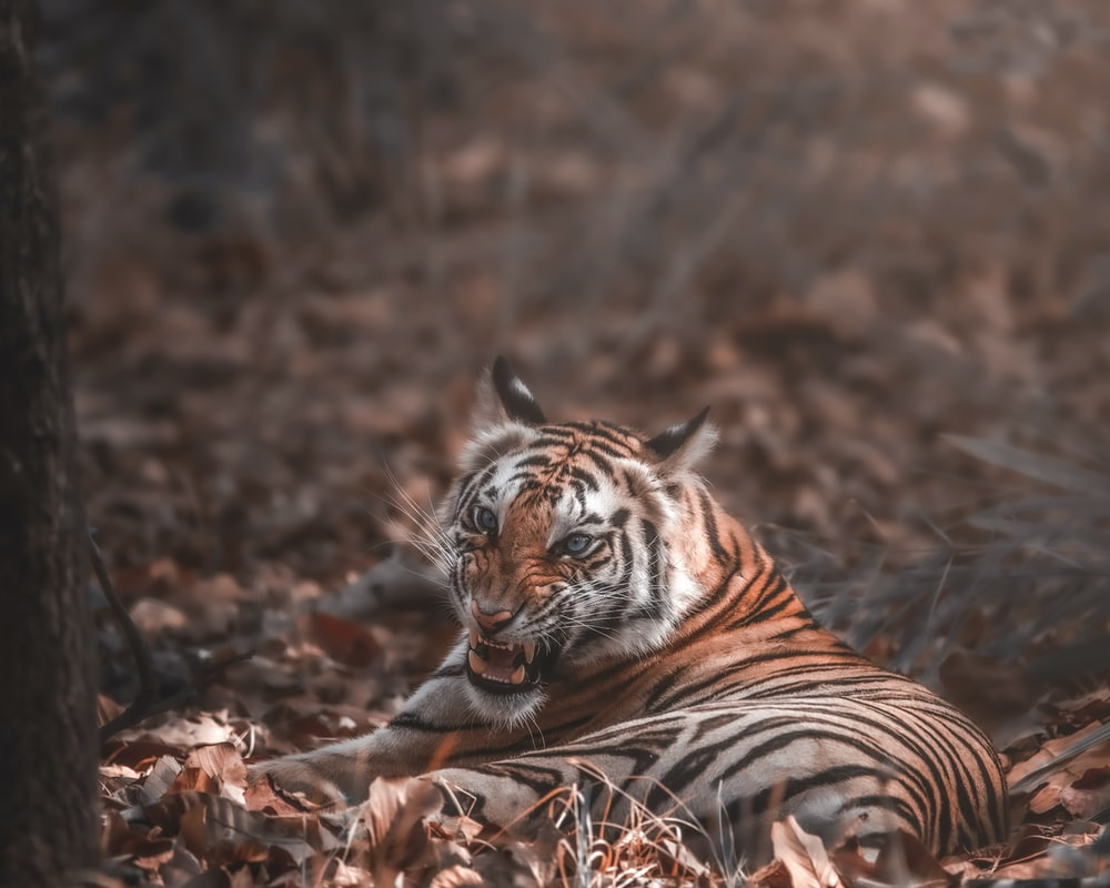 tiger lying on brown dried leaves