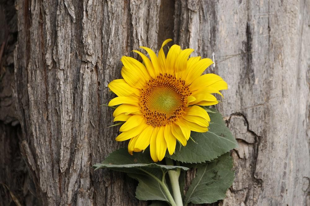 yellow sunflower beside brown tree trunk