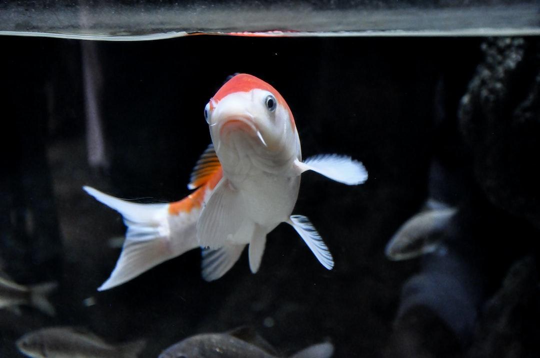 Memberikan Perawatan Yang Baik Kepada Ikan Koi