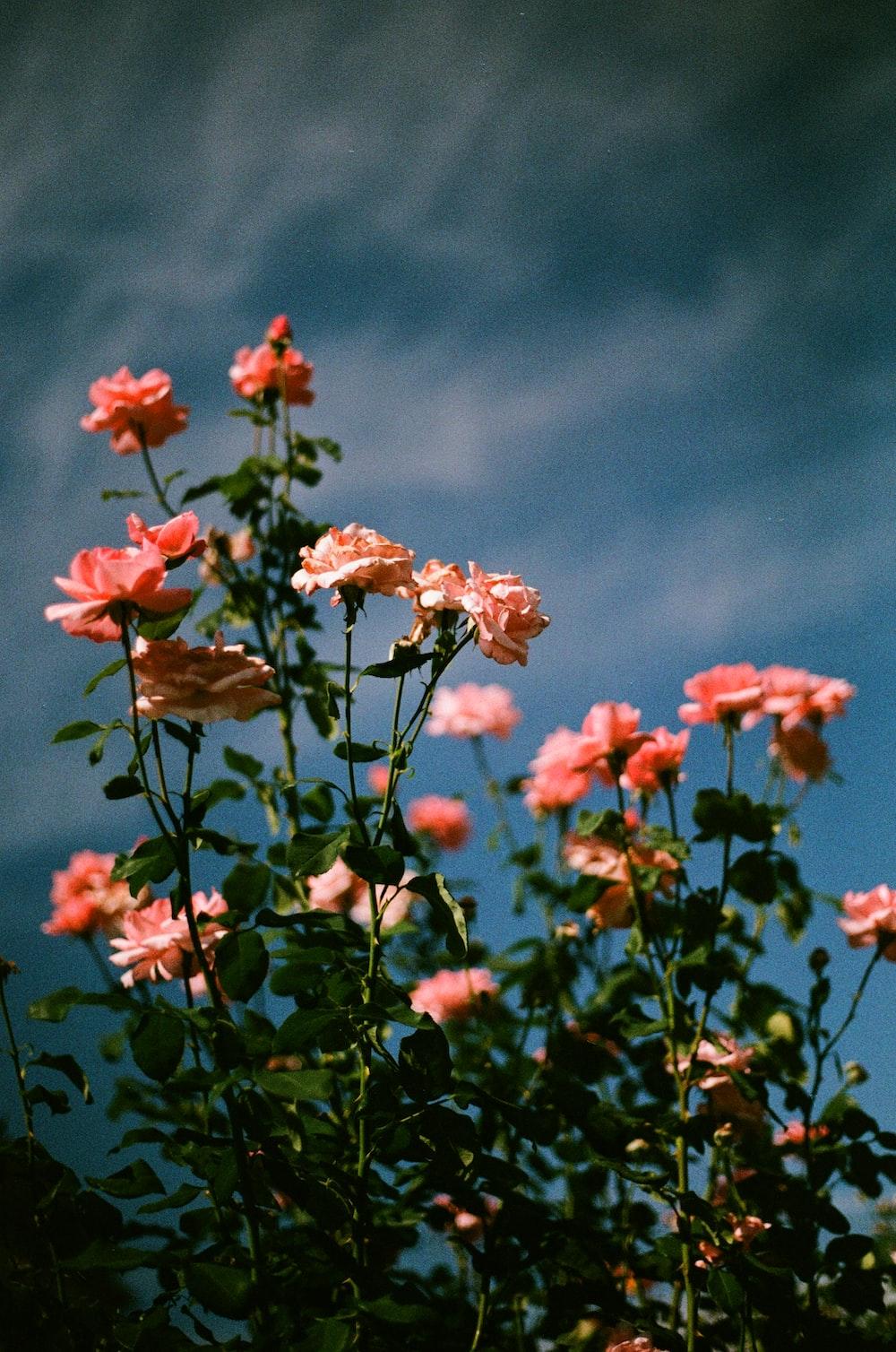 red flowers under blue sky