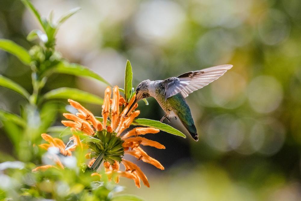 green humming bird flying over orange flowers during daytime