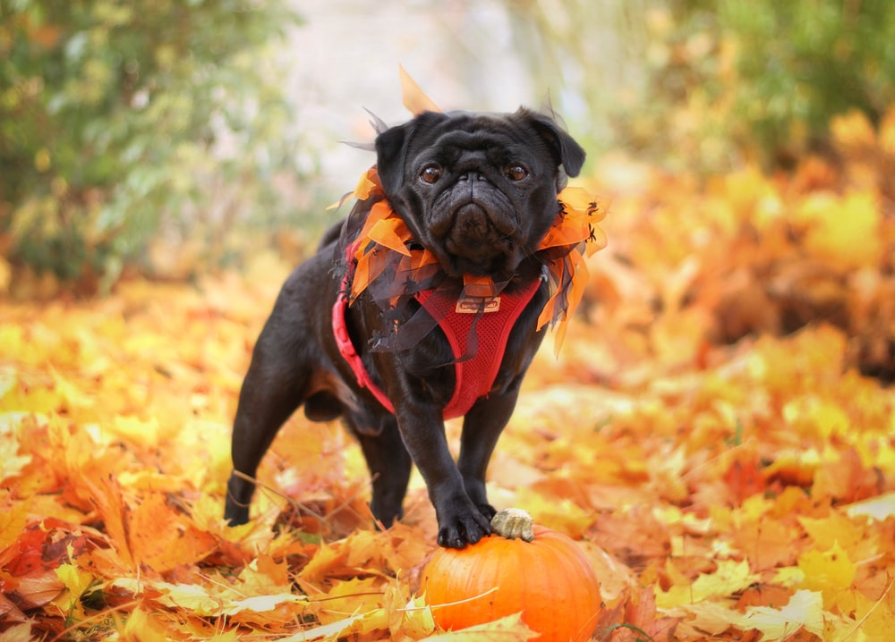 black pug in red and black shirt on brown dried leaves during daytime