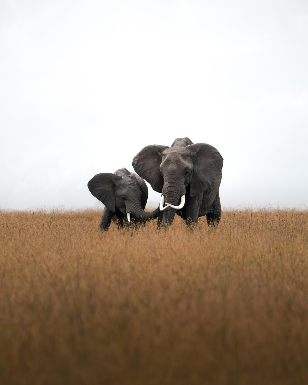 2 gray elephant on brown grass field during daytime