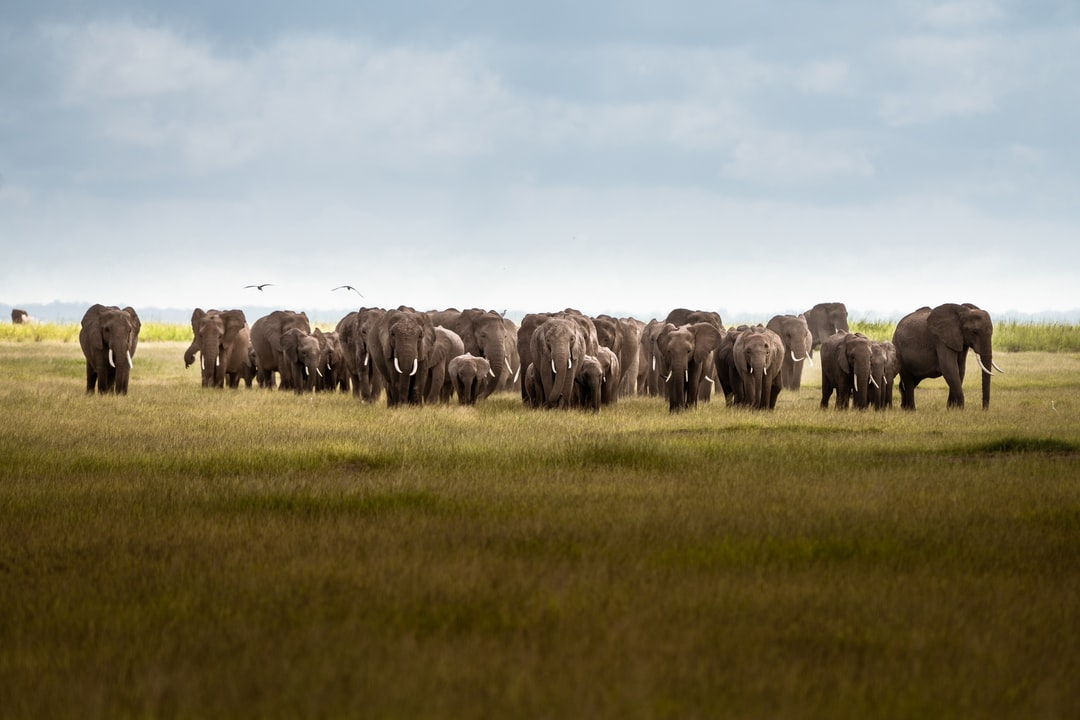 Herd of Elephants Walking To A Watering Hole In Amboseli National Park, Kenya - unsplash