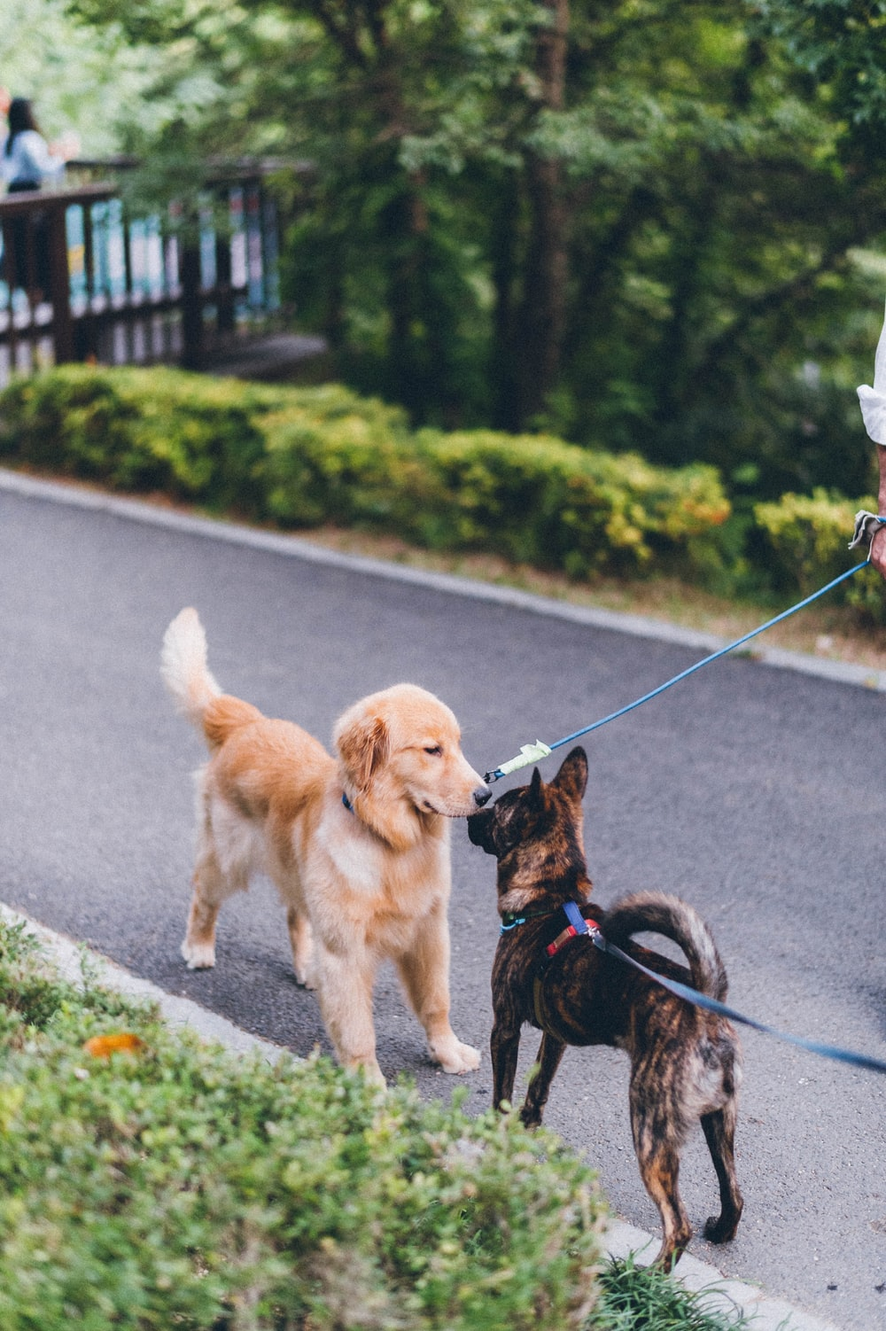 golden retriever puppy with leash on road during daytime