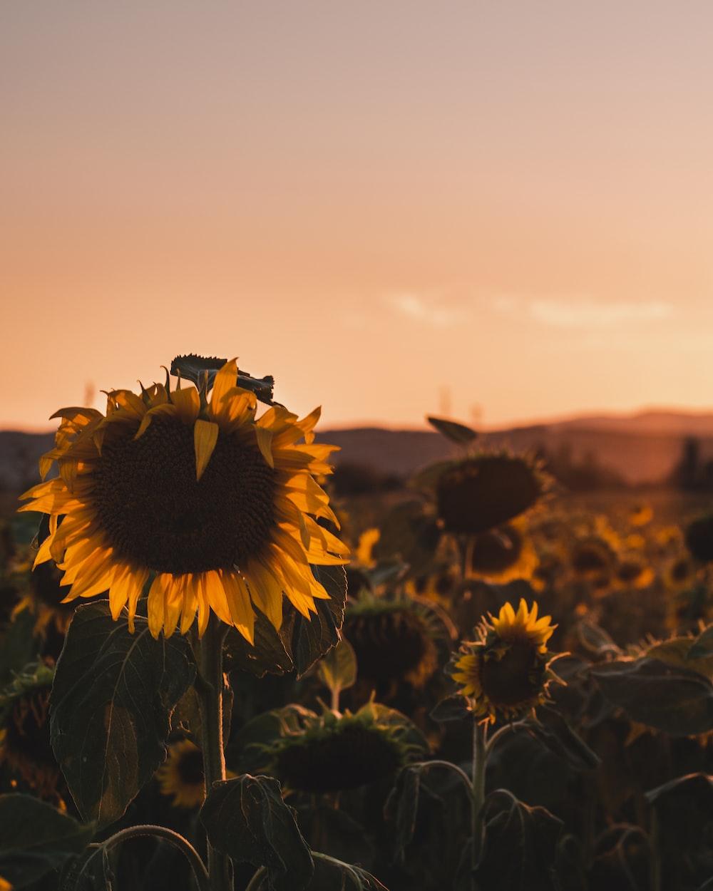 sunflower field under gray sky during daytime