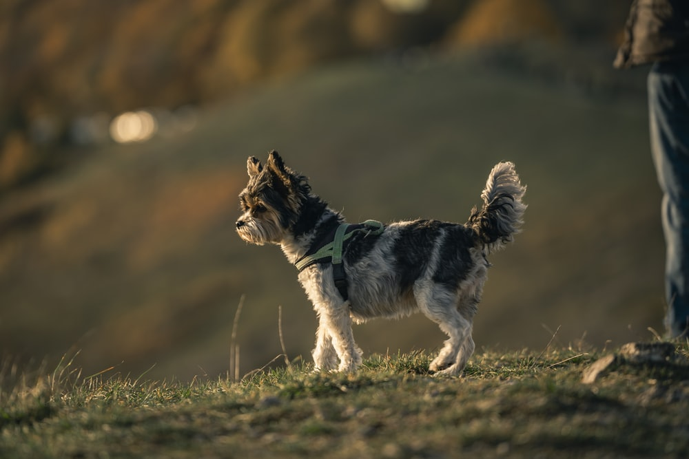 white and black long coated small dog running on green grass field during daytime