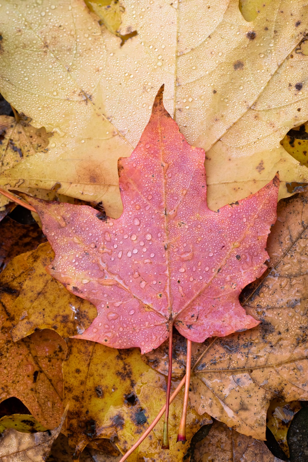 brown and red maple leaf