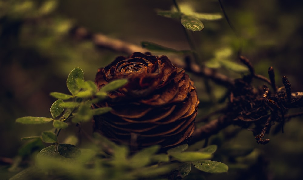 brown rose in close up photography