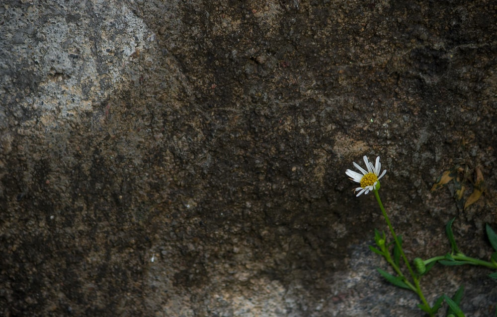 white daisy on brown and black marble table