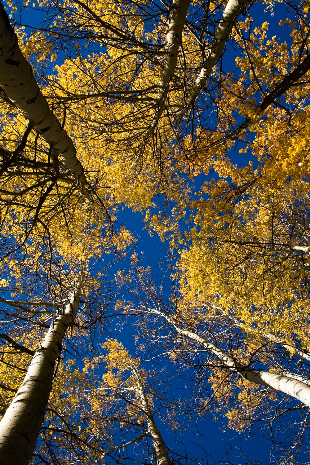 low angle photography of yellow leaf trees under blue sky during daytime