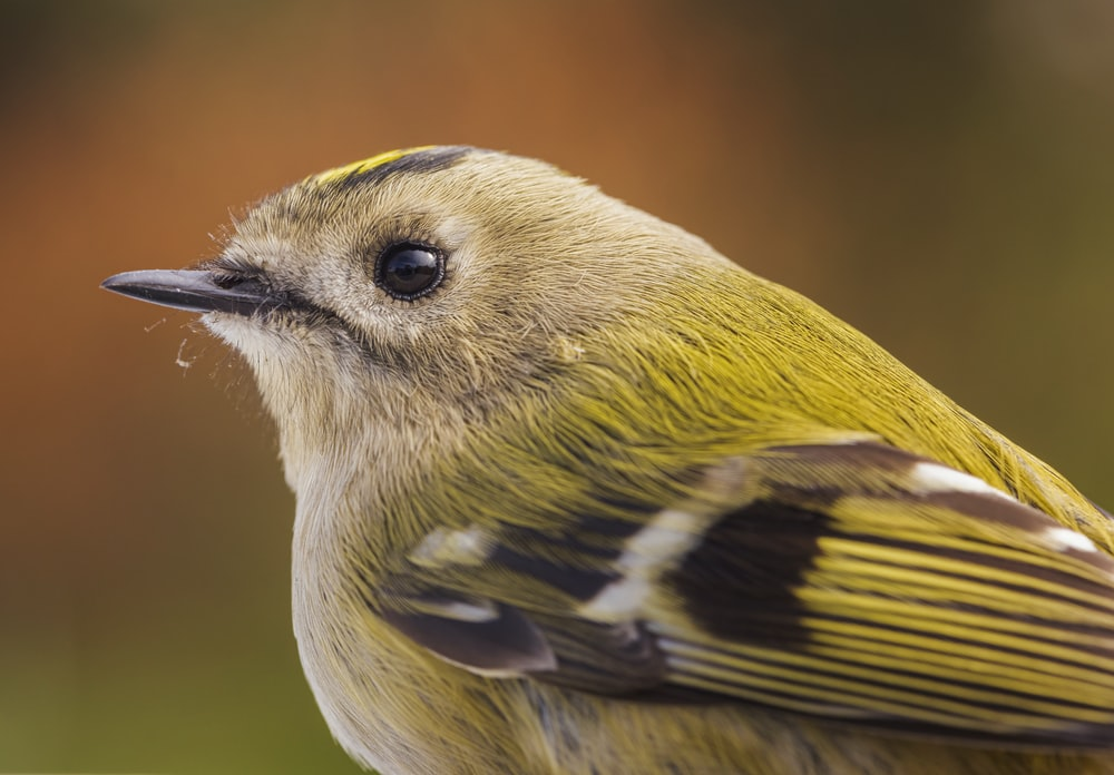 yellow and black bird in close up photography