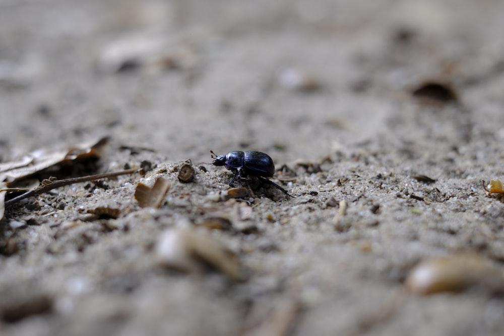 blue beetle on brown soil