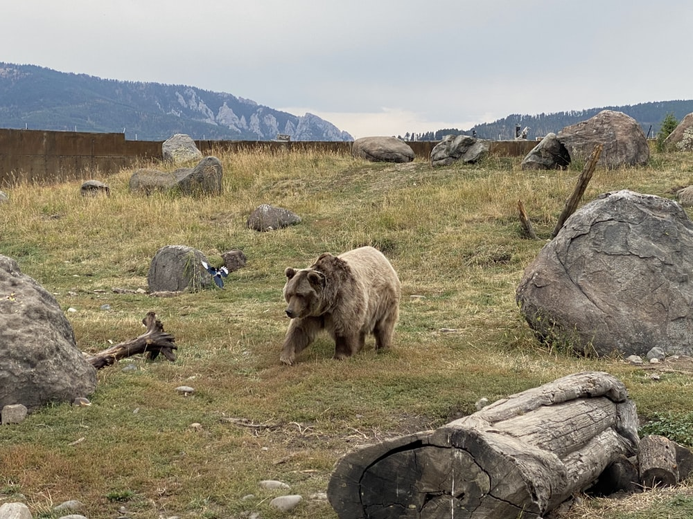 brown bear on green grass field during daytime