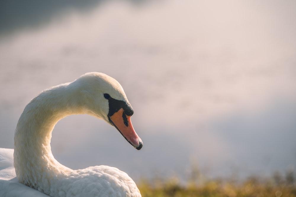 white swan on green grass during daytime