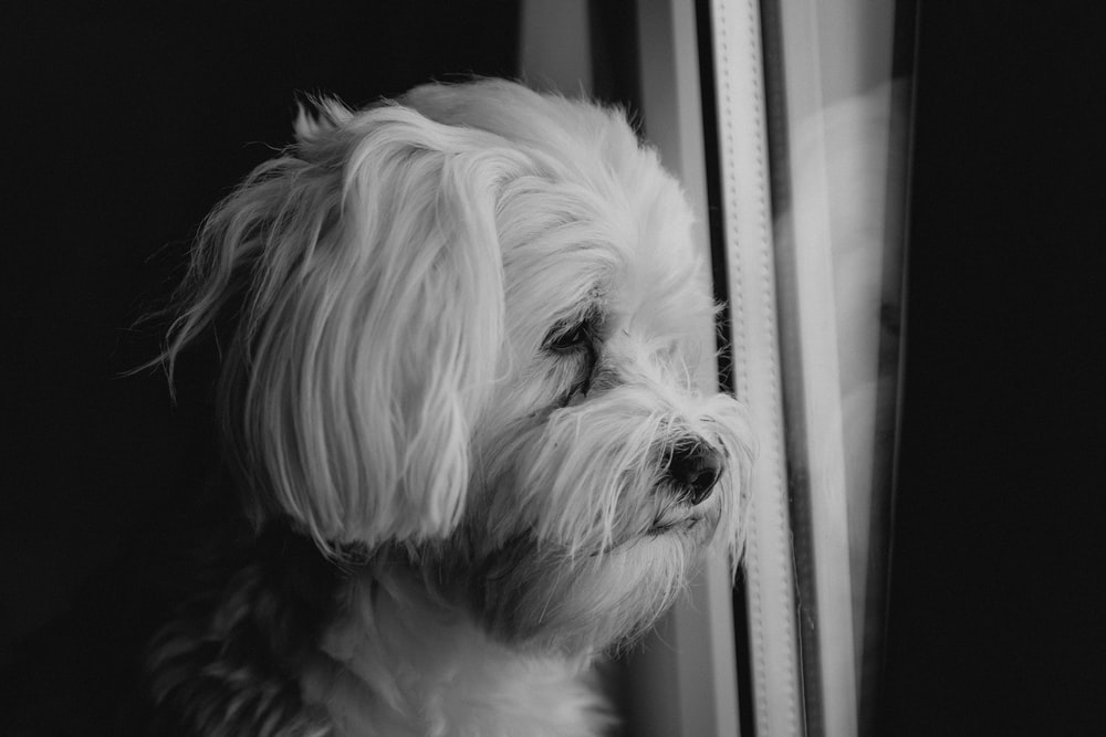 grayscale photo of long coated dog looking out the window