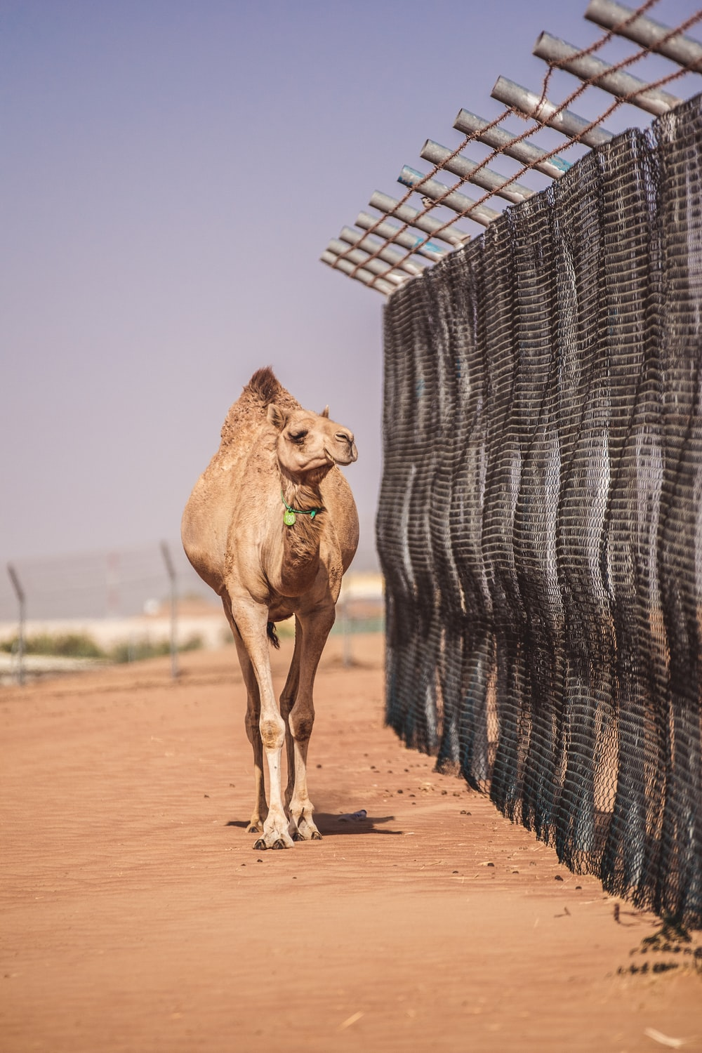 brown camel near gray metal fence during daytime