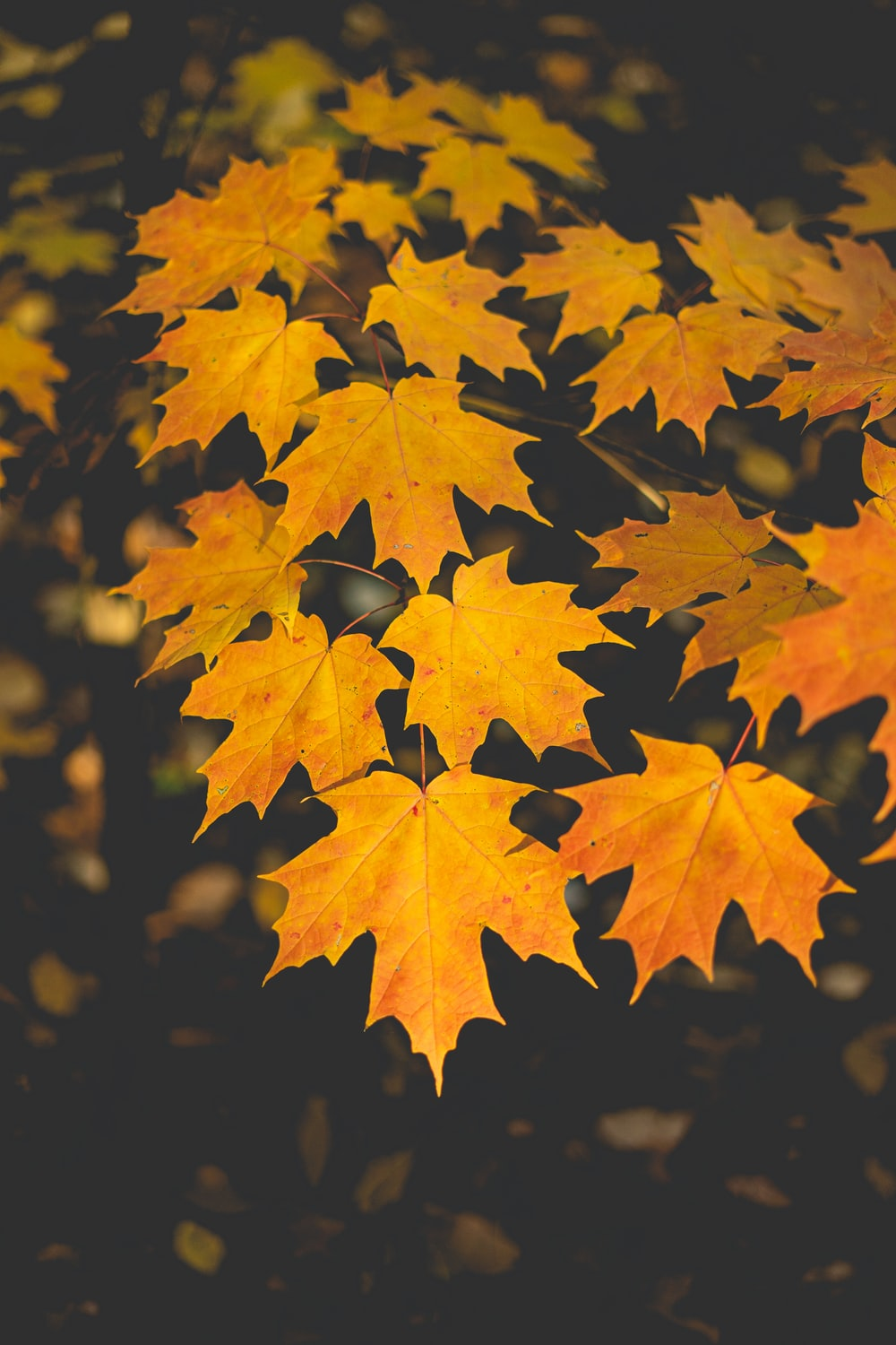 yellow maple leaves in close up photography