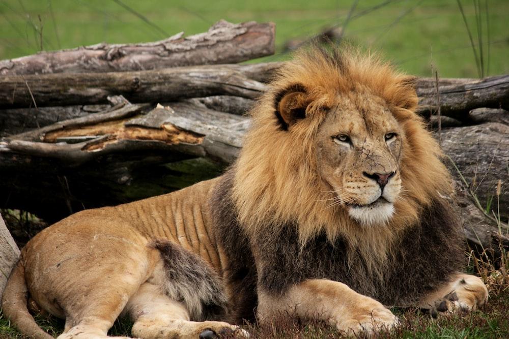 brown lion lying on brown tree log during daytime