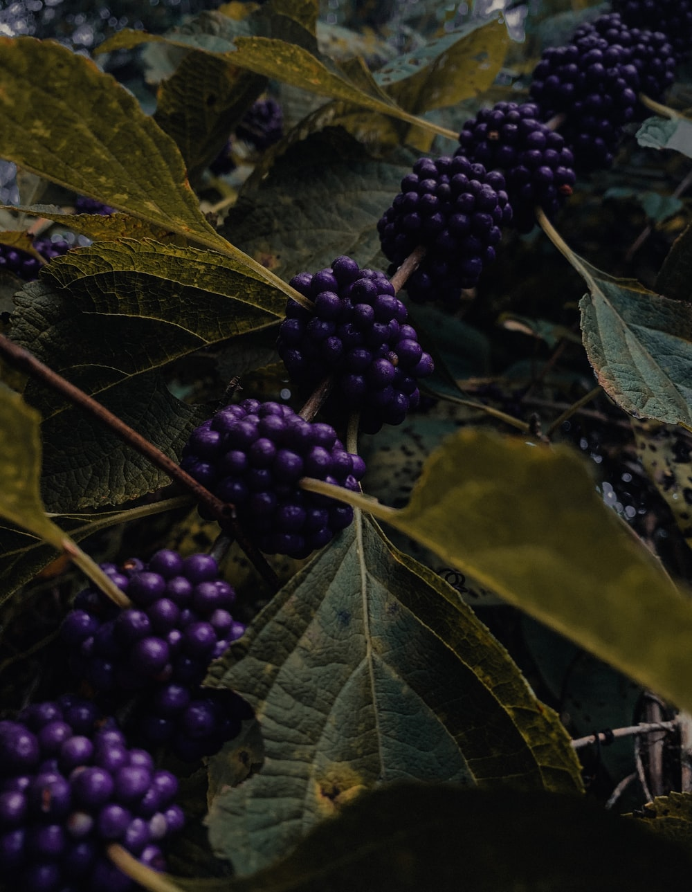 purple grapes on green leaves