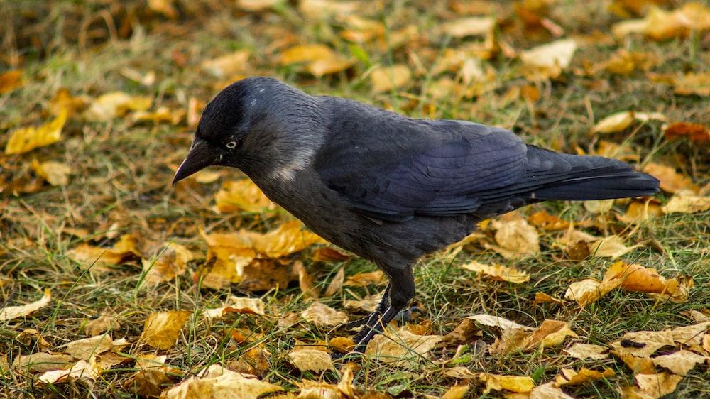black bird on brown dried leaves